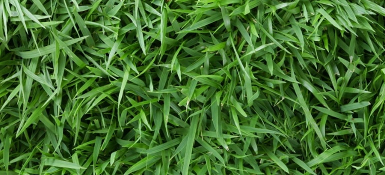 The guide to Zoysia matrella grass.