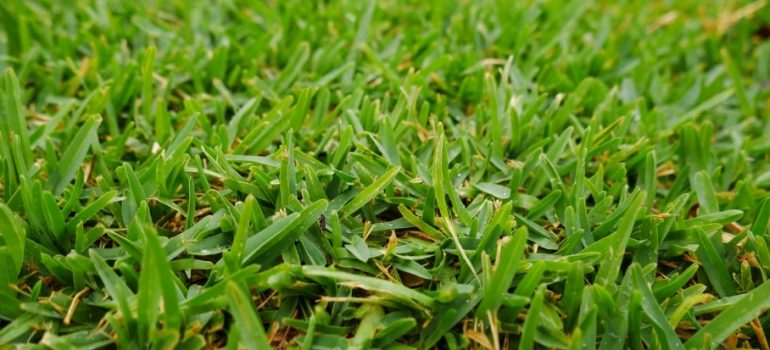 Everything you need to know about Sir Walter Buffalo Grass