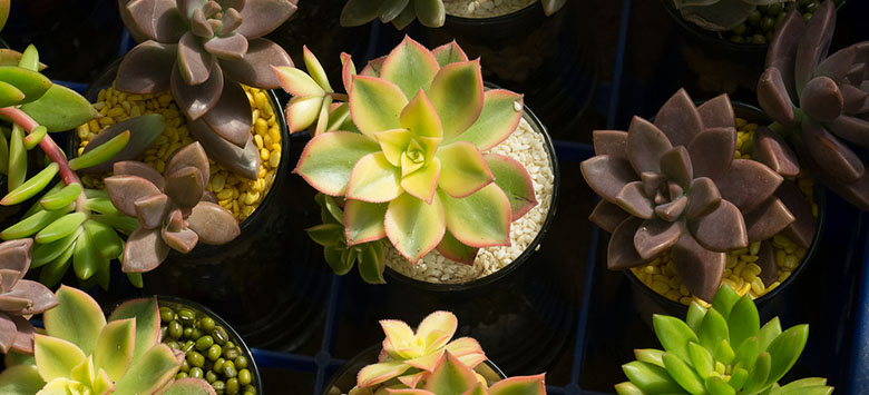 The different types of succulents that can be grown in water.
