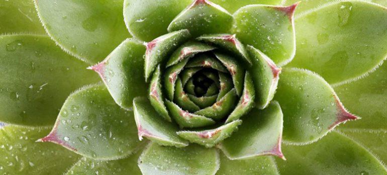 Wet succulent.