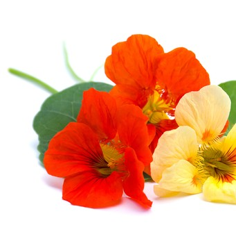 Nasturtium plant is perfect for a salad.