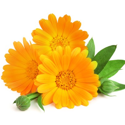 Calendula plant ready for your salad.