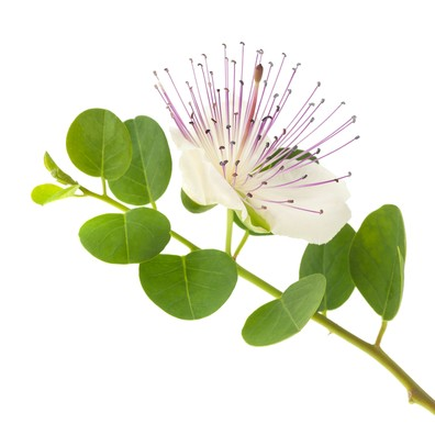 The bloom of a caper plant.