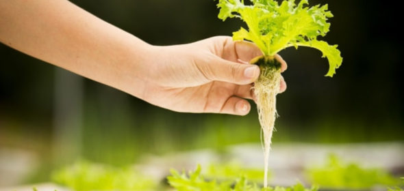 How hydroponics and normal soil compare and the benefits of hydroponics