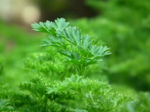 Parsley for spring planting