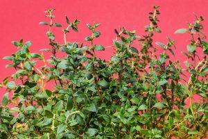 Thyme for spring planting