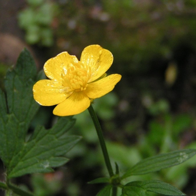 Buttercup plant poison