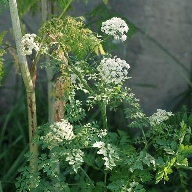Oenanthe plant poison.