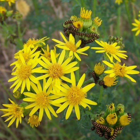 Ragwort plant in the wild.