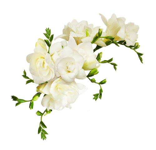 Freesia plant can be grown for food.