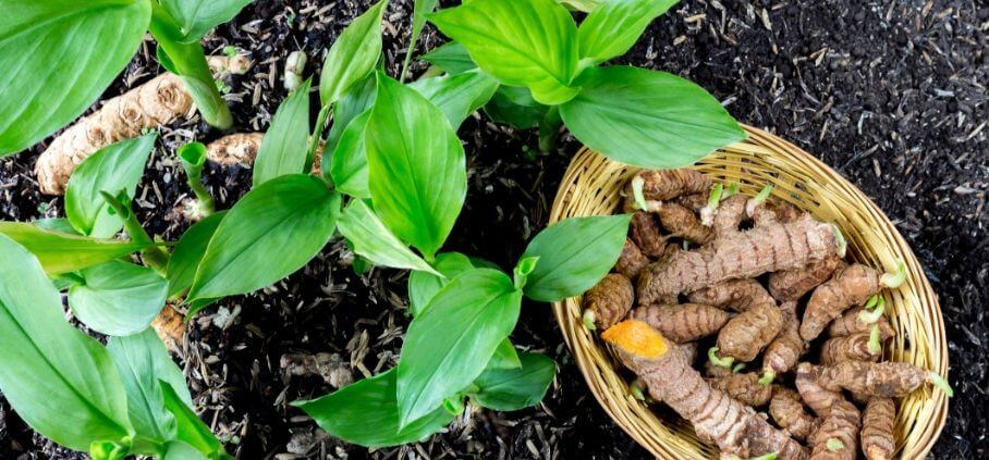Guide on growing turmeric