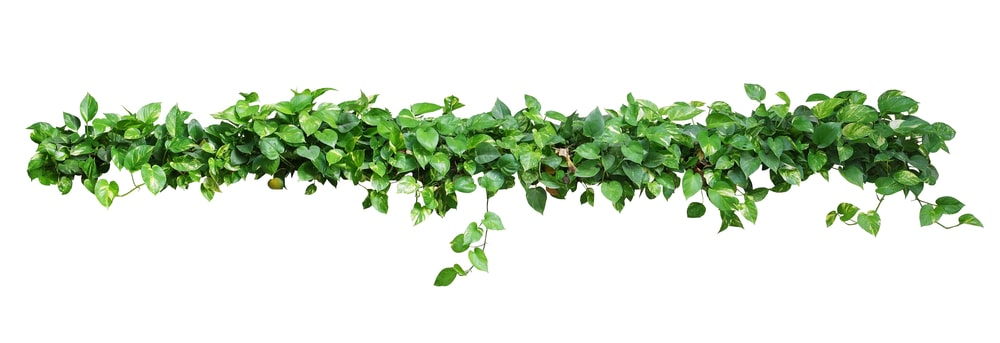 A vine is great for groundcover plant!
