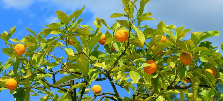 How to Prune a Mandarin Tree