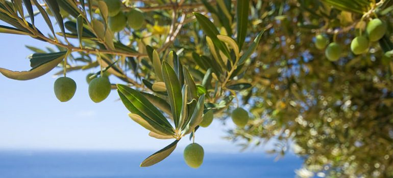 How to Prune an Olive Tree