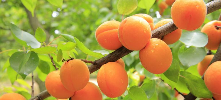How to prune an apricot tree