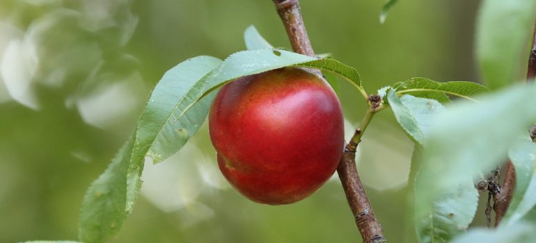 How to prune a nectarine tree
