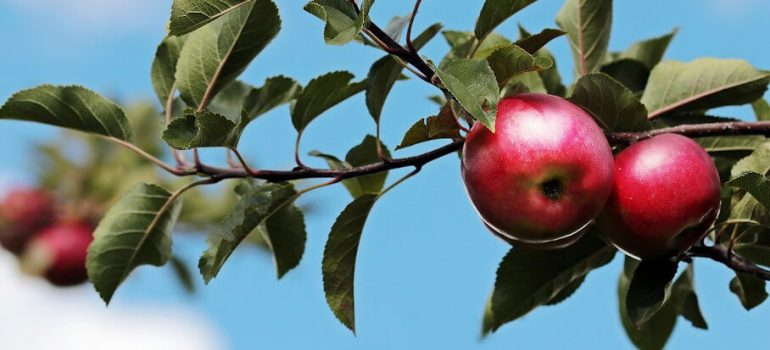 How to prune an apple tree