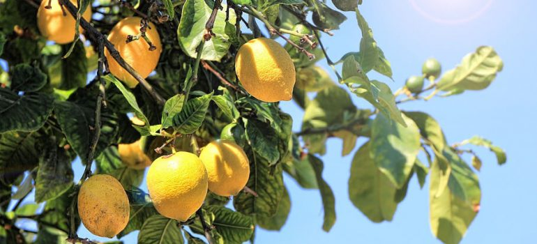 how to prune a lemon tree