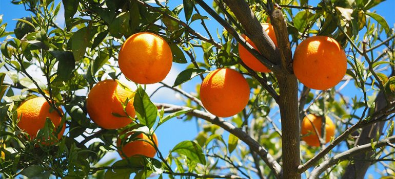 How to Prune an Orange Tree